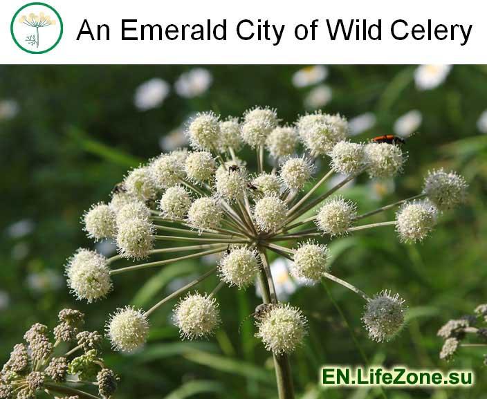 An-Emerald-City-of-Wild-Celery